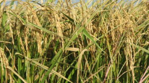 SOLD-162 Acre Rice/Row Crop Farm